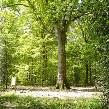 Arbre remarquable Chêne des Terres Cauvins en forêt domaniale de Montfort